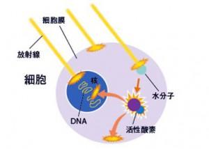 放射線による細胞の破壊メカニズム